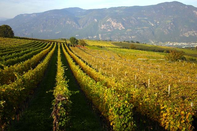 In der Sektkellerei Arunda werden nur ausgewählte Südtiroler Trauben verwendet, Foto: Arunda