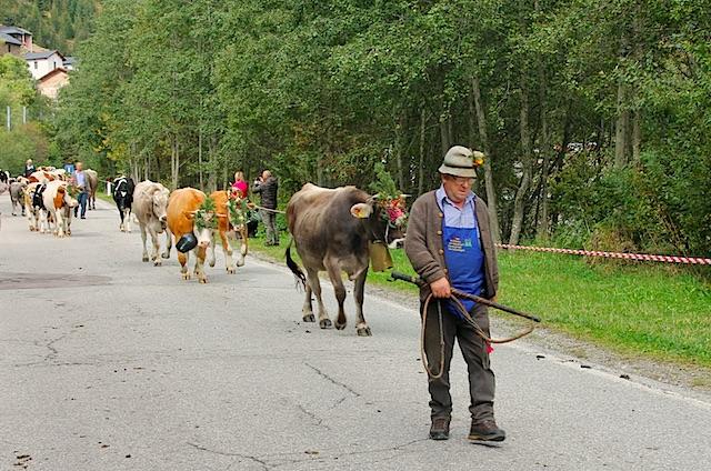 Mit Kopfschmuck und Glocken trotten die Kühe gemächlich zu Tal, Foto: Heiner Sieger