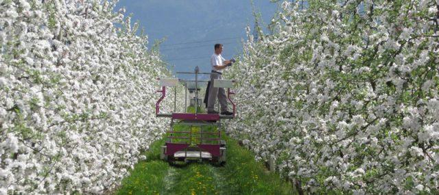 Beschneiden der Apfelblüten am Sandwiesenhof; Foto: Sandwiesenhof