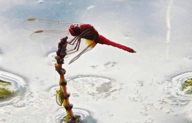 Auch die Feuerlibelle fühlt sich ich Naturbad Gargazon wohl.