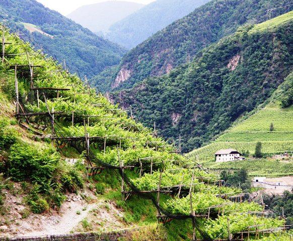 Pergellandschaft in Signat: Prägend für das Südtiroler Landschaftsbild; Foto: Albin Thöni