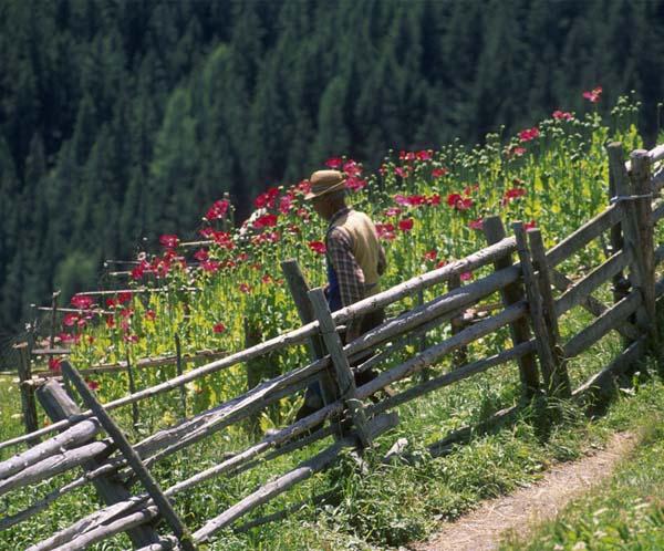 Der Mohnanbau blüht im Ultental, dank einer Sondergenehmigung, denn: Mohnkrapfen dürfen auf keiner Feier fehlen.