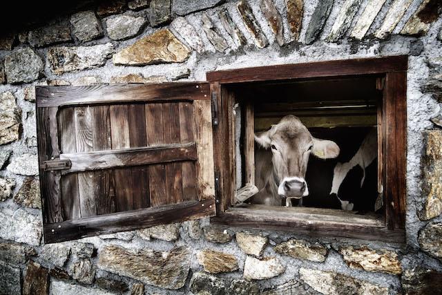 Beim Almtag im Trentino lernen Gäste, wie der Käse nach traditioneller Art hergestellt wird und sind dabei, wenn Sahne zu Butter verarbeitet wird, Foto: Daniele Lira