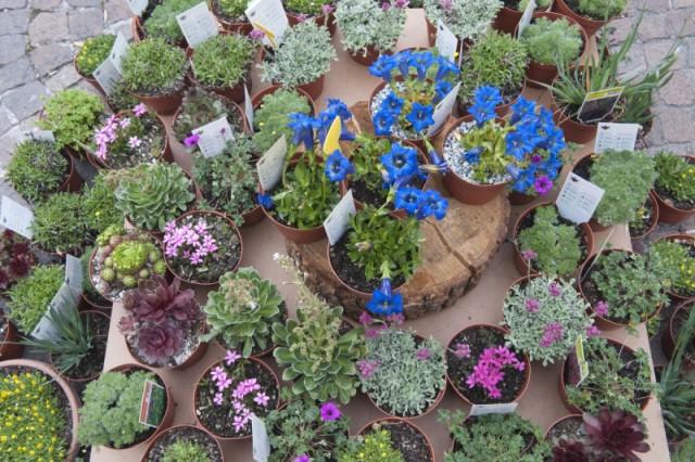 Alpenpflanzen wie Enzian zieren den Blumenmarkt in Bozen; Foto: TV Bozen